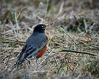 American Robin near the Sourland Mountain Preserve Pond. Image taken with a Nikon 1V2 camera, FT1 adapter, and 80-400 mm VR lens (ISO 160, 400 mm, f/5.6, 1/250 sec).
