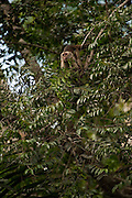 Wedge-capped or <br /> Weeping Capuchin (Cebus olivaceus)<br /> Rainforest<br /> Rewa River<br /> Iwokrama Reserve<br /> GUYANA. South America<br /> RANGE: Venezuela, Guianas, Brazil's NE