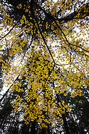 Fall colors in the Metolius Preserve near Camp Sherman, Oregon.