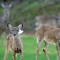 Group of deer in a field near Huber Woods Park in Middletown Twp NJ.