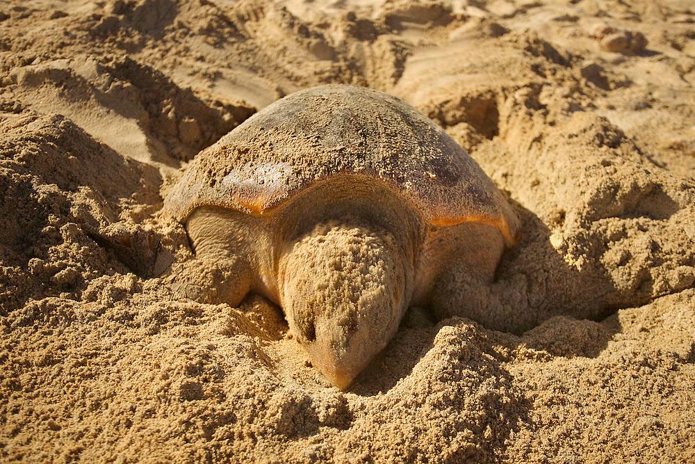 10/Septiembre/2014 Cabo Verde, Boa Vista.<br /> Una hembra de Carettha carettha en el momento de poner los huevos en la playa de Joao Barrosa.<br /> <br /> © JOAN COSTA