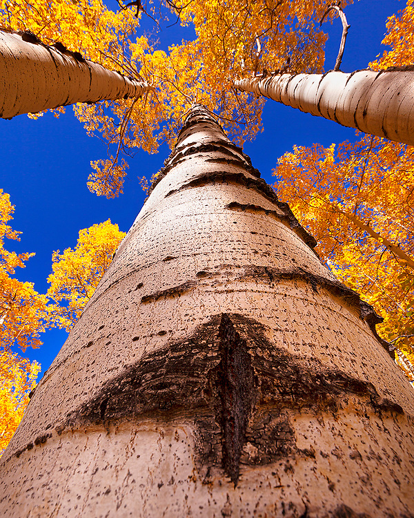 At the right time of day at these high elevations, the color of the sky directly overhead goes beyond blue to this incredible deep blue-violet. A natural crack in this aspen tree's bark looks like an arrow pointing toward the sky.
