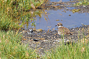An adult killdeer (Charadrius vociferus) watches over one of its chicks at the Malheur National Wildlife Refuge in southeastern Oregon. Killdeer chicks are precocial, which means they are not confined to the nest when they hatch. Newly hatched killdeer are able to run around.