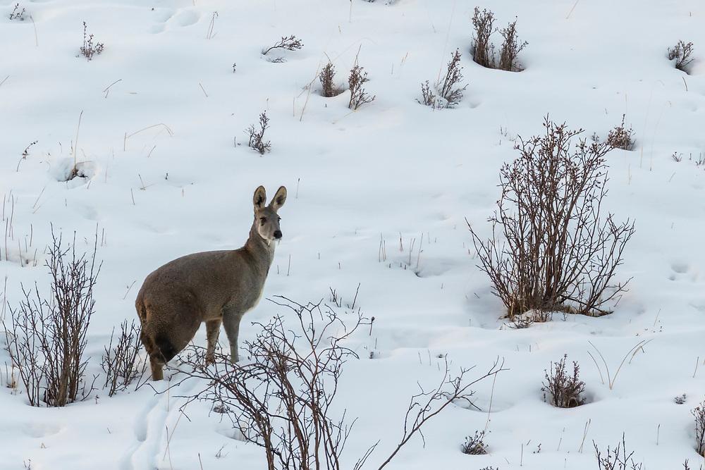 Alpine Musk deer, Moschus chrysogaster, standing in snow in Serxu, Garze Prefecture, Sichuan Province, China