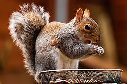 A Grey Squirrel (Scientific name Sciurus Carolinensison) forrages for food during a brief visit to a small Sheffield suburban garden.<br /> <br /> www.pauldaviddrabble.co.uk<br /> All Images Copyright Paul David Drabble -<br /> All rights Reserved -<br /> Moral Rights Asserted
