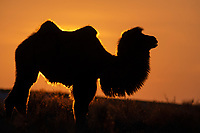 Bactrian camel, male, Camelus bactrianus, a feral animal living in the wild, but owned by a camel herdsman, often of Kazakh ethinicity. Tien Shan mountains, Xinjiang, China