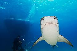 Tiger Shark, Galeocerdo cuvier, scuba diver, and boat, West End, Grand Bahama, Atlantic Ocean