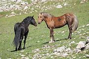 Wild mustang stallions
