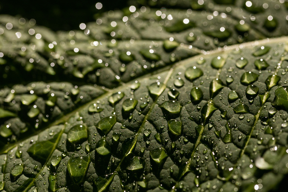 A macro view of a hyrrangea leaf holding water droplets.