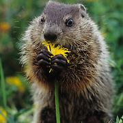 Woodchuck or Groundhog (Marmota monax) feeding on a dandelion in Montana. Captive Animal