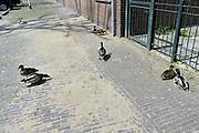 Nederland, Nijmegen, 5-5-2014Eenden in de paringstijd, met paringsdrift. Mannetjes zijn op zoek naar vrouwtjes.Foto: Flip Franssen/Hollandse Hoogte