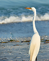 Great Egret (Ardea alba). Image taken with a Nikon D3s camera and 70-300 mm VR lens.