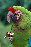 A military macaw (Ara militaris) eating a nut with its dexterous claw. Range: South Mexico to East Bolivia, Captive, Portland Oregon. June 2000