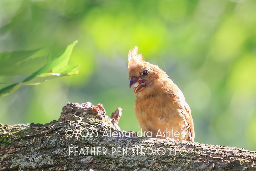 Very young northern cardinal (Cardinalis cardinalis) fledgling perching on tree limb, eating a seed and enjoying the evening sunlight.
