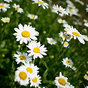 Daisies at Bon Air Park in Arlington, Virginia.