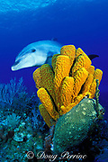 bottlenose dolphin, Tursiops truncatus, and tube sponges, Aplysina fistularis, Cayman Islands ( Caribbean )