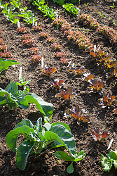 Rows of young chicory and red lettuce plants. Lactuca sativa
