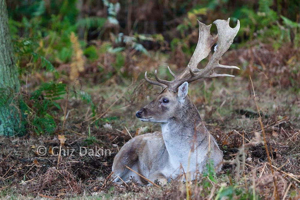 Fallow deer in rutting season (autumn) at Calke Abbey, Derbyshire