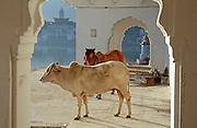 Cows on the ghats, Holy Lake, Pushkar, Rajasthan, India