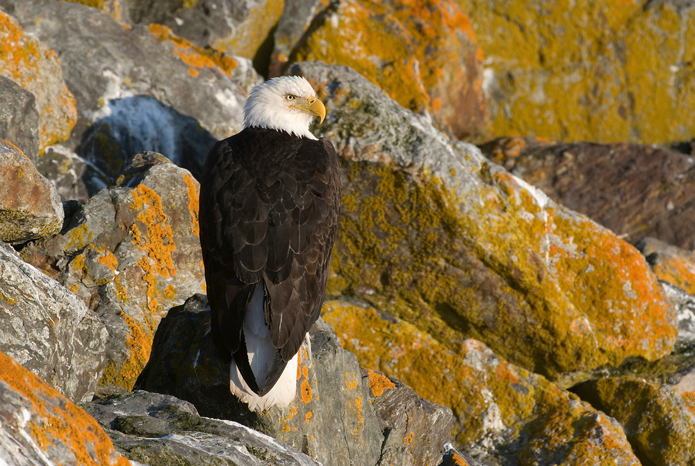 Mature Bald Eagle Perched on Lichens.