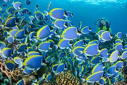 Acanthurus leucosternon,  Weisskehl  oder Weissbrust Doktorfisch mit Taucher, powderblue surgeonfish and scuba diver, Lakkadiven See, Indischener Ozean, Maradhoo, Gan, Addu Atoll, Malediven, Asien, Laccadive Sea, Maldives, Indian Ocean, Asia