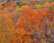 Autumn colors of birch and maple hardwood forest below Poke-O-Moonshine Mountain, Adirondack Park, New York.