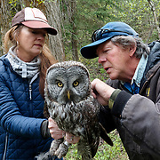 Denver Holt trapping great gray owl. Mission Valley. Montana