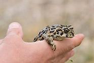 Amargosa Toad, Bufo nelsoni