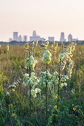 Arkansas yucca (Yucca arkansana) and view to downtown from Blackland Prairie remnant, White Rock Lake, Dallas,Texas, USA