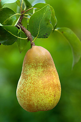 Pear 'Laxton's Foremost' - Pyrus