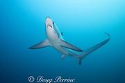 female pelagic thresher shark or fox shark, Alopias pelagicus, Monad Shoal, off Malapascua, Cebu, Philippines  ( Visayan Sea, Western Pacific Ocean )