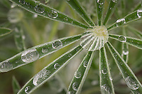 Dew drops on Lupine stems
