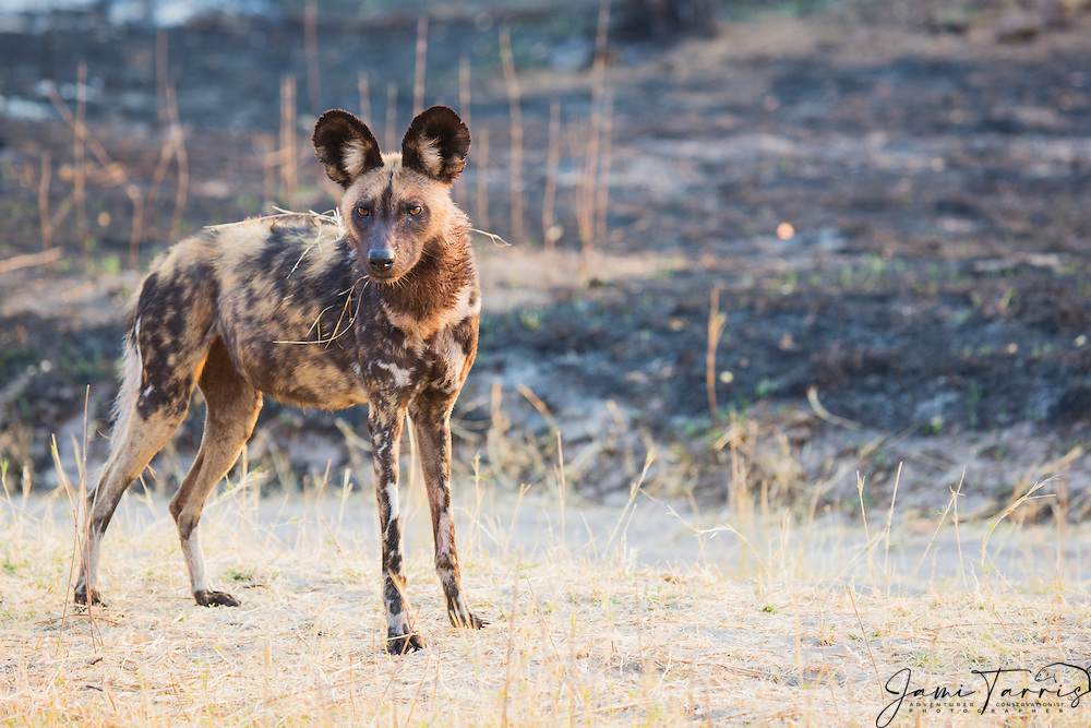 After returning to its den from a successful hunt, an alpha female Wild Dog (Lycaon pictus) is watchful for other predators in early morning, Moremi Game Reserve,Botswana, Africa