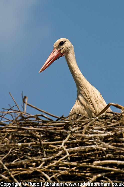 White stork (Ciconia ciconia) nesting on a roof in the village of Cigoc, Lonjsko polje nature park, Croatia