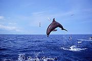 Atlantic bottlenose dolphin, Tursiops truncatus, leaping out of water, Bahamas ( Western Atlantic Ocean )