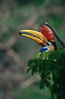 Male Knobbed Hornbill (Aceros cassidix) with fruit of wild fig (Ficus).Tangkoko Batuangus/Dua Saudara Nature Reserve, Sulawesi Island, Indonesia.