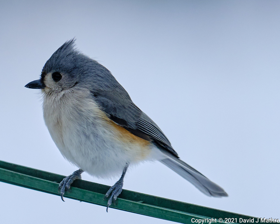 Tufted Titmouse (Baeolophus bicolor). Image taken with a Fuji X-T3 camera and 200 mm f/2 OIS lens with a 1.4x teleconverter.