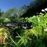 Alpine salamander (Salamandra atra) | Alpensalamander (Salamandra atra) im Umbaltal westlich von Hinterbichl im Nationalpark Hohe Tauern in Österreich.