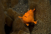 Painted Frogfish (Antennarius pictus) in Lembeh Strait, Indonesia