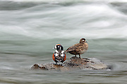 Harlequin ducks standing on rocks in rapid water.