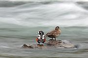 Harlequin ducks standing on rocks in rapid water.