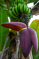Banana Musa paradisiaca is a large, herbaceous plant native to Asia. Purple buds appear from the heart of the tip of the stem and develop into white flowers.  Banana flowers are rich in  flavonoids and vitamin E and have medicinal value.  Banana hearts are eaten as a vegetable in many Asian countries - the taste is similar to an artichoke.