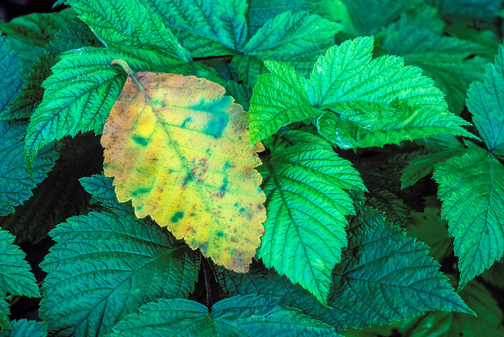 Alder leaf and salmonberry leaves, spring, Queets River Valley, Olympic National Park,  Washington, USA