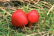 SCARLET WAXCAP Hygrocybe coccinea Strikingly colourful toadstool. Cap is up to 6cm across, broadly conical, scarlet and greasy. Gills are scarlet with a pale edge. Stem is same colour as cap. Grows in grassland.