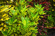 Tropical foliage in the Galaxy Garden, Paleaku Gardens Peace Sanctuary, Kona Coast, The Big Island, Hawaii USA