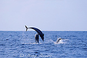 fighting bottlenose dolphins, Tursiops truncatus: lower dolphin strikes jumping dolphin with rostrum, Hawaii ( Pacific Ocean ) (3 of 3)