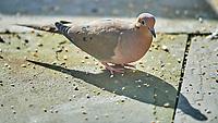 Mourning Dove (Zenaida macroura). Image taken with a Nikon D5 camera and 600 mm f/4 VR telephoto lens.