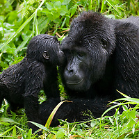 Uganda, Bwindi Impenetrable National Park, Infant Mountain Gorilla (Gorilla gorilla beringei) leans in to kiss Silverback adult male resting in rainforest