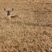 Is it a Mule Deer or just a Plain old Doe, A  Female Deer?
