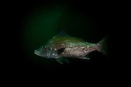 Paristiopterus labiosus (Giant boarfish)